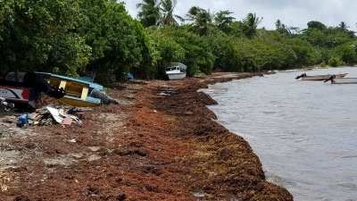 Huge masses of Sargassum have inundated beaches in Barbados. Here, at Oistins, in the central part of the island, a major clean-up operation was being undertaken to remove the unsightly algae.